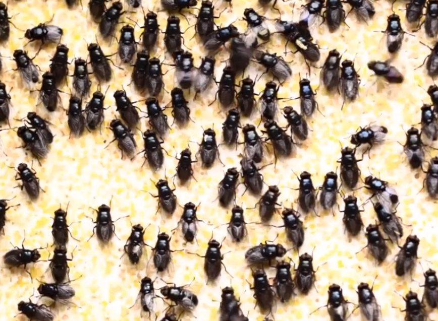 Наказание песьими мухами