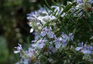 Rosemary or Rosmarinus officinalis