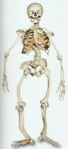 Rachitisches Skelett (1900)