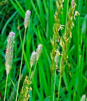 Пырей ползучий — полезный сорняк