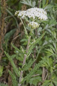 401px Achillea millefolium vallee de grace amiens 80 22062007 1 - Полезные свойства тысячелистника