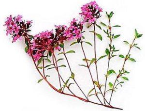 thymus serpyllum 300x229 - Чабрец: полезные свойства и противопоказания