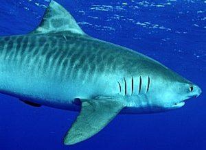 tiger shark1 300x219 - Опасности при купании в море. Кого нужно опасаться?