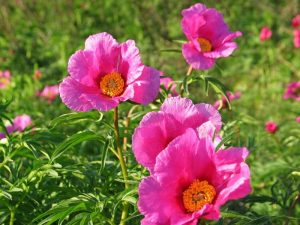 0d8899ec958c0713a582436f9b0478ac 300x225 - Марьин корень: целебная сила красивого цветка