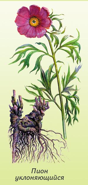 122 - Марьин корень: целебная сила красивого цветка
