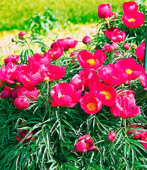 Марьин корень: целебная сила красивого цветка