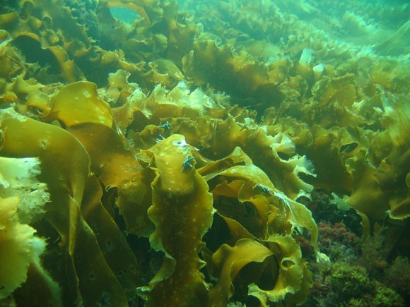 laminariya - Польза морской капусты для организма